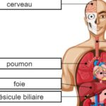Body Organs in French