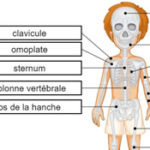Bones of the Skeleton in French